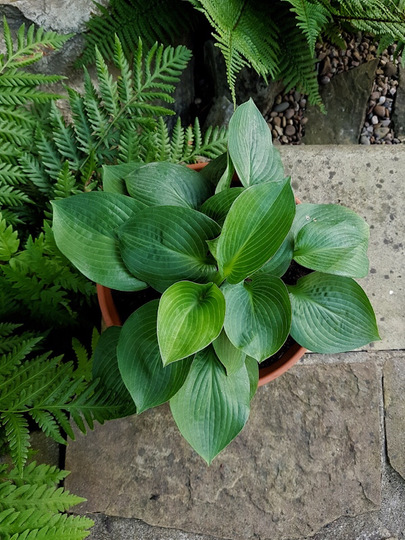Little potted hosta.