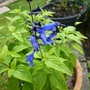 Salvia 'Black and Blue'