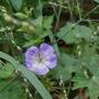 Geranium wallichianum 'Buxton's Variety' - 2020