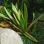 Variegated yucca. (Yucca gloriosa (Spanish dagger))
