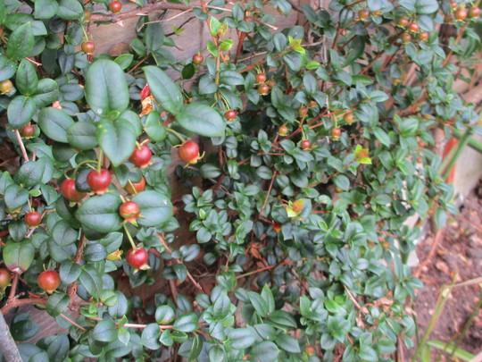 Ugni fruit (Ugni molinae)