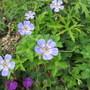 Geranium Buxtons Variety (Geanium wallichianum)