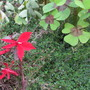 Lobelia cardinalis Queen Victoris (Lobelia cardinalis (Cardinal flower))