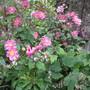 Anemone hupehensis var. japonica 'Pamina' (Anemone hupehensis (Japanese anemone))