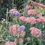 Succisa pratensis (Succisa pratensis (Ascabiosa Mordida))