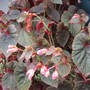 Begonia grandis subsp. evansiana (Begonia grandis subsp. evansiana)