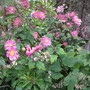 Anemone hupehensis var. japonica Pamina (Anemone hupehense var. japonica)
