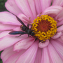 Zinnia with wasp