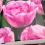 Tulip Shirley Double