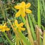 Yellow flowered Crocosmia  (Crocosmia x crocosmiiflora (Montbretia))