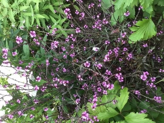 Verbena 'Bampton' (Verbena officinalis var. grandiflora 'Bampton')