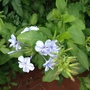 Plumbago just beginning to flower in our porch.