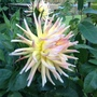 Our one and only dahlia plant!