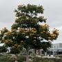 Spathodea campanulata 'aurea' - Golden African Tulip Tree