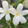 Plumeria alba - Puerto Rican Plumeria