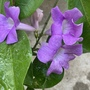 Garlic Vine - Mansoa alliacea