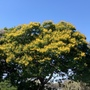 Peltophorum pterocarpum - Yellow Poinciana