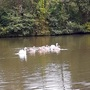 Family of Swans.