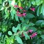 Fuchsia 'Margaret Brown' (Fuchsia magellanica (Hardy fuchsia))