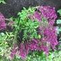 Salvia nemorosa 'Schwellenberg'