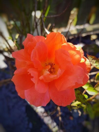 Vibrant orange rose.