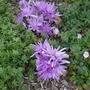 Colchicum autumnale 'Water Lily' - 2020 (Colchicum autumnale)