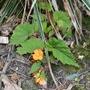 Begonia sutherlandii - 2020 (Begonia sutherlandii)