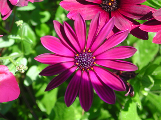 how to grow osteospermum from cuttings