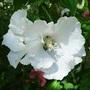 White hibiscus syriacus detail (hibiscus syriacus)