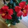 Hibiscus rosa-sinensis (Hibiscus rosa-sinensis)