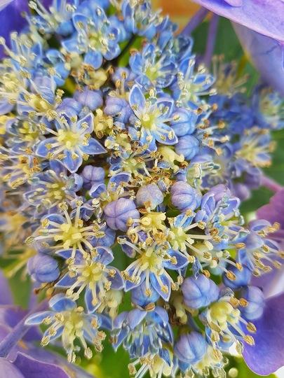 Close up of my blue hydrangea  (Hydrangea macrophylla (Hortensia))