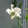 High Scent Sweetpea (Lathyrus odoratus (Sweet Pea))