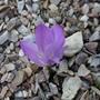 Colchicum alpinum - 2020 (Colchicum alpinum)