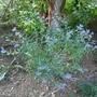 Caryopeteris x clandonensis 'Kew Blue' - 2020 (Caryopteris x clandonensis)