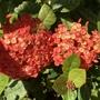 Ixora cocinnea 'Maui Red'