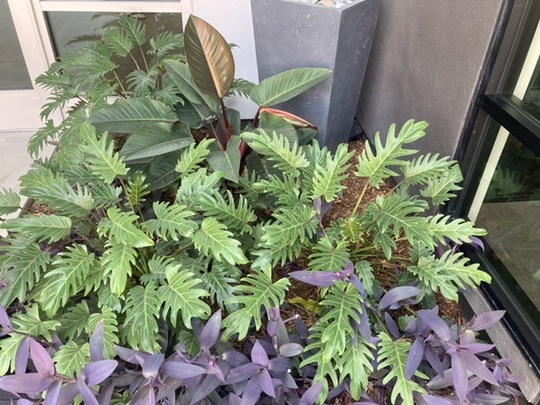 Philodendron with Purple Heart in front of a building