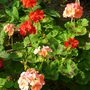Second burst of flowers from the Geraniums.