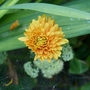 Chrysanthemum_dixter_orange_2020