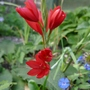 Schizostylis_coccinea_major_2020