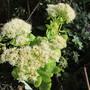 Sedum spectabile Iceberg (Sedum spectabile (Ice plant))
