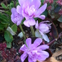Colchicum  Naked Ladies