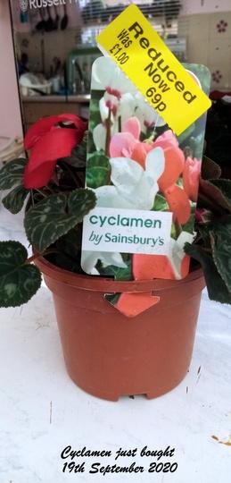 Cyclamen just bought 19th September 2020 (Cyclamen hederifolium (Hardy cyclamen))