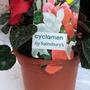 Cyclamen hederifolium (Hardy cyclamen)