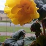 Begonia (Yellow) on balcony railings 16th July 2020 002 (Begonia)
