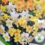 Mini Daff bulbs just bought for balcony railings 19th September 2020