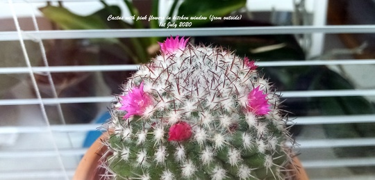 Cactus with pink flowers in kitchen window from outside 1st July 2020