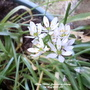 Allium_white_flowering_on_balcony_7th_may_2020_001_cropped_