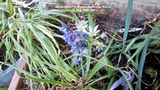 Allium (White + Bluebell) flowering on balcony 7th May 2020 003 (Allium)