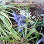 Allium_white_bluebell_flowering_on_balcony_7th_may_2020_003