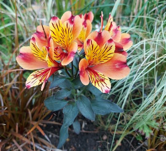 Alstroemeria Indian Summer... (Alstroemeria aurea (Peruvian lily))